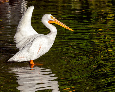 white pelican standing in shallow water