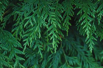 Thuja occidentalis or arborvitae tree green foliage close up