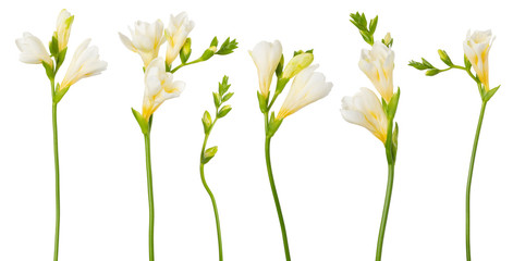 Freesia white flowers set twigs with buds in bloom isolated on white background