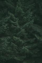 Dark moody evergreen old forest background