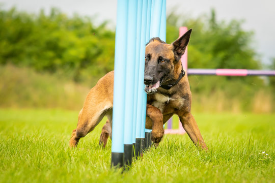 Belgian Malinois Completing Dog Agility Weaving Poles