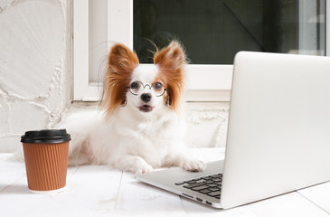 working dog. Cute dog is working on a silver laptop with a cup of coffee. Dog breed : Continental...