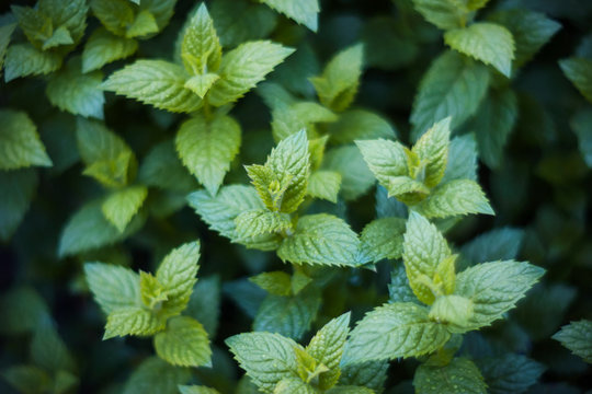 Growing green fresh fragrant mint with dew drops on the leaves.