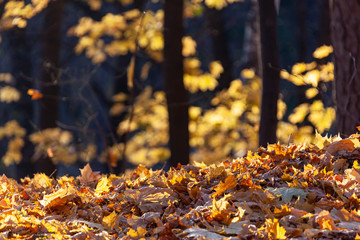 Fallen yellow leaves lit by the rays of the sun on a blurred background of the forest. Golden autumn in the forest.