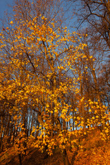 Golden autumn in the park: maples with yellow leaves on a background of blue sky