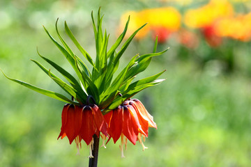Crown imperial flowers (Fritillaria imperialis)