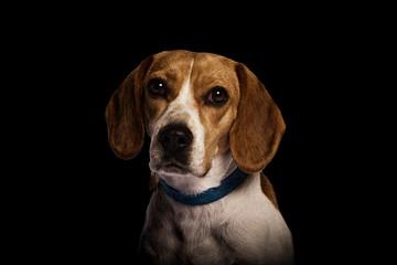 Mascota Beagle