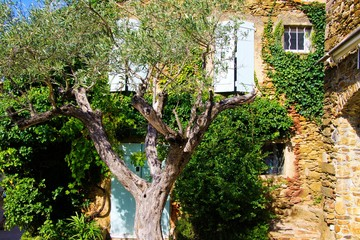 View beyond crown of olive tree on facade of typical French mediterranean stone house covered with ivy with white window shutters in bright natural sun light - Gassin, Cote d´Azur, France