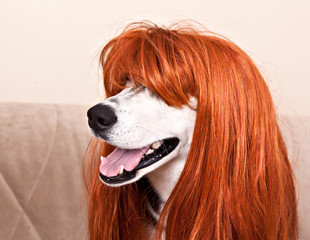 Dog Siberian Husky in fiery red wig
