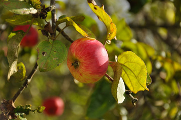 Ripe red Apple on a branch