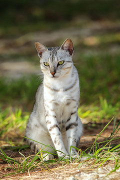 Egyptian Mau cat sitting on the ground