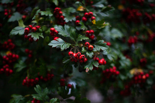 Red hawthorn on a bush. Beautiful berry background. The summer atmosphere is created by green plants.