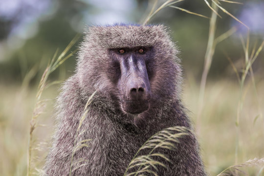 Monkey Baboon - Portrait