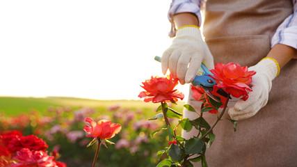 Printed roller blinds Roses Woman pruning rose bush outdoors, closeup. Gardening tool