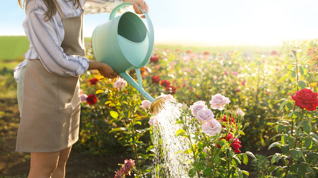 Closeup view of woman watering rose bushes outdoors. Gardening tools