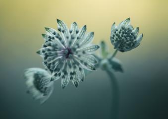 Leinwandbilder - Astrantia kwiaty