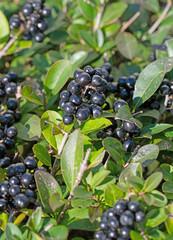 Reife Beeren vom Liguster, Ligustrum vulgare