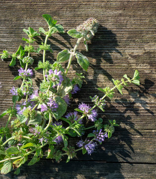 Squaw mint, Mentha pulegium, commonly (European) pennyroyal, also called mosquito plant and pudding grass. vintage wooden background