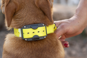 woman s hand placing electric dog collar on Brown dow