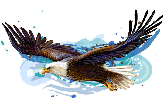 Soaring bald eagle.  Color, realistic, art portrait of a soaring bald eagle on a white background in a watercolor style.