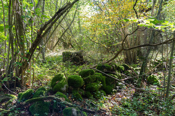 Old moss covered dry stone wall in a forest