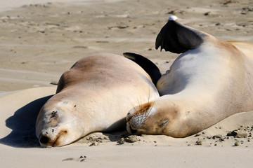 New Zealand female sea lions sleeping, Surat Bay, Catlins, New Zealand