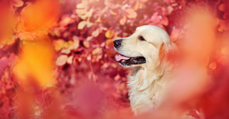 Wide banner with golden retriever against fall background
