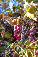 Ripe red grapes. Vineyard Nature background.