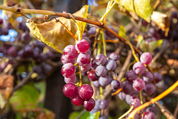Bunches of red wine grapes on vine.