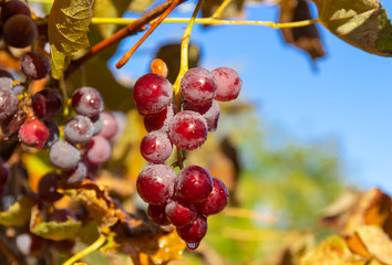 Ripe red grapes against the blue sky