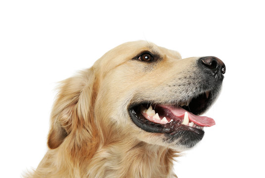 Portrait of an adorable Golden retriever looking satisfied