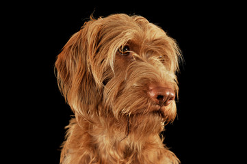 Portrait of an adorable wire-haired magyar vizsla looking curiously
