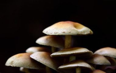 A group of brown fresh little mushrooms with slats in front of dark autumn background