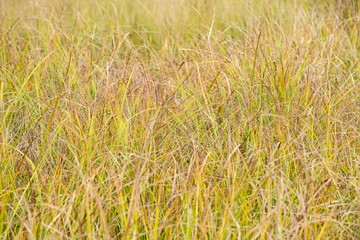 Soft Grass in a Marshy Area in Algonquin Park