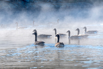Flock of Canada Geese Swimming in Lake of Two Rivers, Algonquin Park, in the Morning Mist