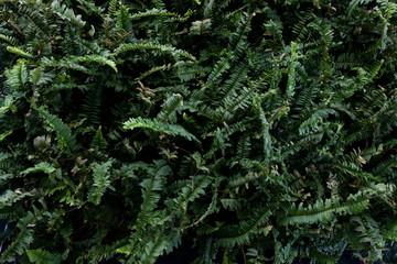 boston fern green houseplant .