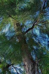 Forest Pine Tree Closeup