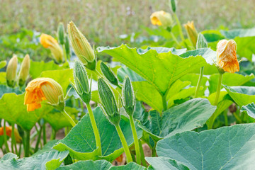 Pumpkin flowers, vegetable cultivation in a rural field.