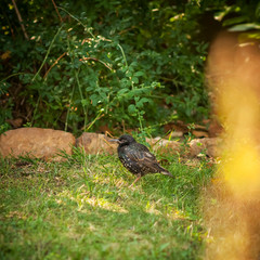 Young starling in on the gardens grass