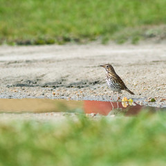 Thrush bird at a waterhole