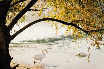 Photo sur Toile Cygne cygne dans l'eau d'une rivière en automne sous un arbre automnal