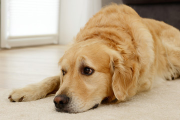 Dog lying in the house and looking