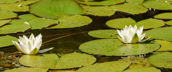 Foto op Canvas Waterlelies water lily in a pond