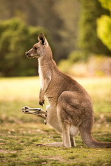 a kangaroo at Australian outback outdoor with a background of kangaroos. a beautiful nature wildlife portrait with a cute wild animal or mammal
