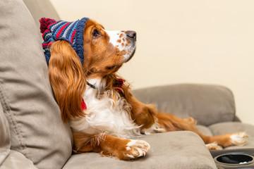Cute cocker spaniel dog wearing a small hat