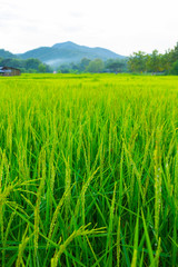 beautiful view of ricefield