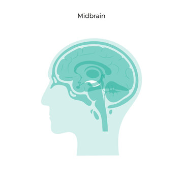 Vector illustration of midbrain