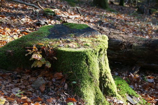 Old tree log cover with moos in autumn