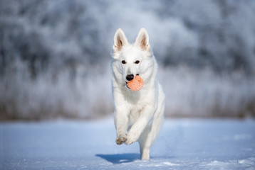white shepherd dog running outdoors with a toy