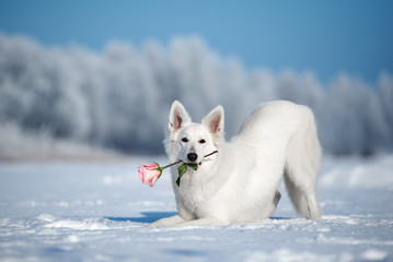 white shepherd dog holding a rose in mouth outdoors in winter